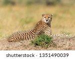 wild african cheetah  beautiful ... | Shutterstock . vector #1351490039