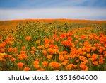 callahan captures poppies in... | Shutterstock . vector #1351604000