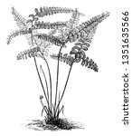 a picture showing adiantum...   Shutterstock .eps vector #1351635566
