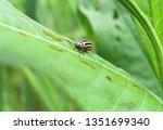 Striped Cucumber Beetle...