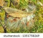 Milkweed Bugs On A Milkweed Po...