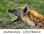 An african spotted hyena...