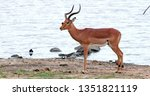 impala in the savannah  park... | Shutterstock . vector #1351821119