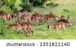 impala in the savannah  park... | Shutterstock . vector #1351821140