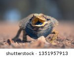 angry wild eastern bearded...   Shutterstock . vector #1351957913