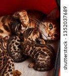 Bengal Cat And Kitten  Family...