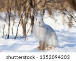Stock photo white snowshoe hare or varying hare closeup in winter in canada 1352094203