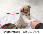 Stock photo a man playing with a puppies husky dogs man buys puppies husky dogs 1352170976