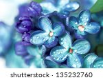 Blue Lilac Flowers Closeup Wit...