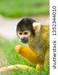 squirrel monkeys  saimiri  | Shutterstock . vector #1352344010