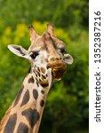 rothschild giraffe  giraffa... | Shutterstock . vector #1352387216