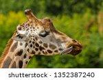 rothschild giraffe  giraffa... | Shutterstock . vector #1352387240