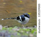 Small photo of Beautiful Slaty-backed Forktail bird (Enicurus schistaceus), breast profile