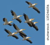 Pelicans Flying Against The...