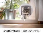 Stock photo blue tabby maine coon kitten passing through cat flap looking at camera 1352548943
