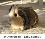cute guinea pig | Shutterstock . vector #1352588510