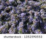 purple blossoms bush | Shutterstock . vector #1352590553