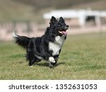 border collie dog. stroll.... | Shutterstock . vector #1352631053
