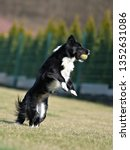 border collie dog. stroll.... | Shutterstock . vector #1352631086