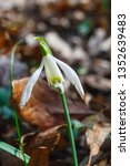 galanthus nivalis  the snowdrop ... | Shutterstock . vector #1352639483