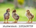 Close Up Three Chicks Friends...