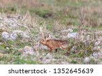Stock photo hares running in a field 1352645639