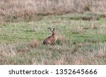 Stock photo hares running in a field 1352645666