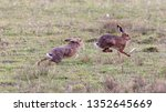 Stock photo hares running in a field 1352645669