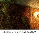 Stock photo close up sulcata tortoise a bunch of tortoise spurred tortoise sunbathe on ground with his 1352669399