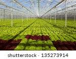 Lettuce Inside  Greenhouse Wit...