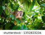 Squirrel Monkey Preparing For...