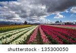 Beautiful Fields Of Tulips