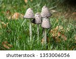 group of four shaggy ink caps... | Shutterstock . vector #1353006056