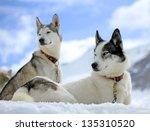 Siberian Husky Dogs Wearing Red ...