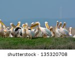 pelicans in natural habitat | Shutterstock . vector #135320708