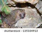 hedgehog | Shutterstock . vector #135334913