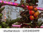 Tomato Cultivation With...