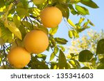 Grapefruit Growing In Southern...