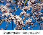 Blossoming Cherry Plums Against ...