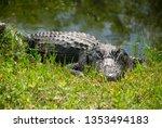 Single Alligator On River Bank...