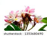 plumeria pink plumeria... | Shutterstock . vector #1353680690