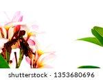 plumeria pink plumeria... | Shutterstock . vector #1353680696