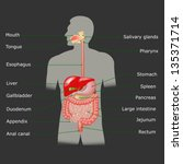 the human digestive system in...   Shutterstock .eps vector #135371714