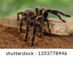 Closeup Female Of Spider...