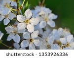 White Cherry Blossom On Blurre...