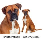 Beautiful Family Of Boxer Dogs...