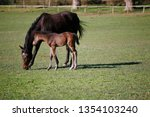 few weeks old colt live on a...   Shutterstock . vector #1354103240