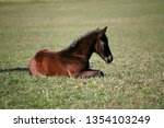 few weeks old colt live on a...   Shutterstock . vector #1354103249