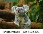 koala  phascolarctos cinereus  | Shutterstock . vector #1354135523