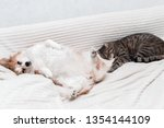 Stock photo dog is lying on the bed on his back next to sleep a cat concept cat and dog 1354144109